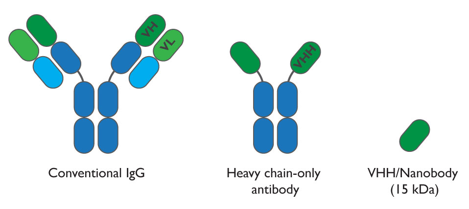 Comparison between conventional antibody