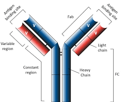 Structure of a standard antibody
